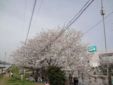 013桜2