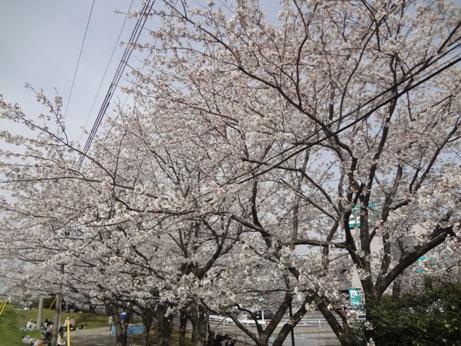 014桜3