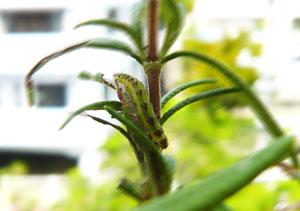 蛾の幼虫_ポッパンク