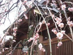 社殿裏の枝垂れ梅