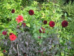 赤黒い中輪のポンポン咲きがいちばん好き