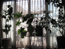観葉植物たち