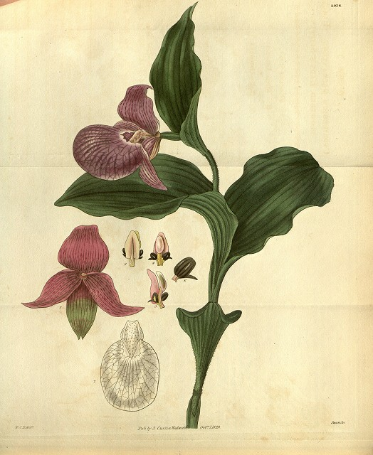 s-Cypripedium_macranthos.jpg