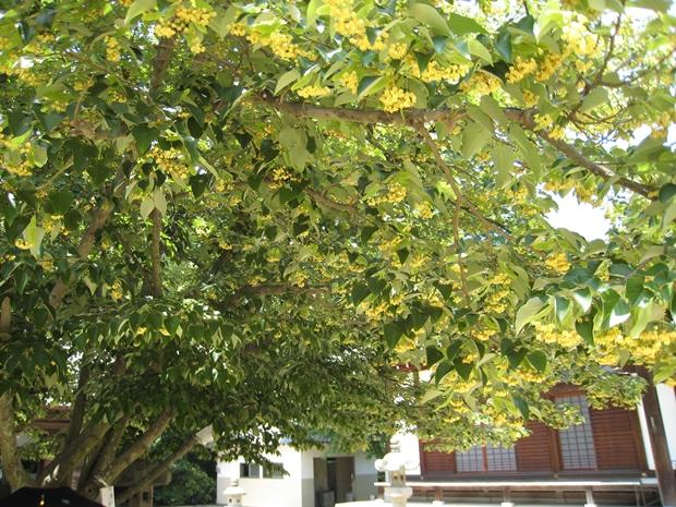 八栗寺の菩提樹の花