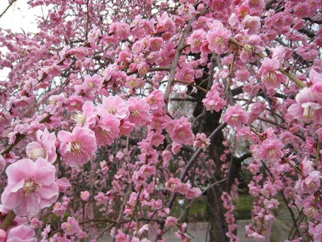 香川県園芸総合センターのしだれ梅