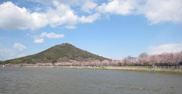 鎌田池の桜