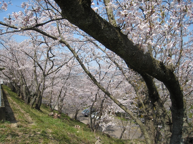 西方寺配水池下の桜