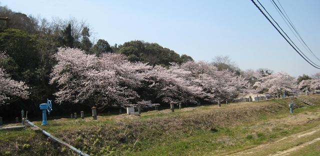 西方寺配水池の桜