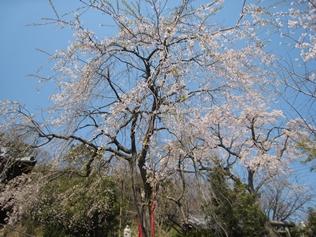 高松最上稲荷のしだれ桜