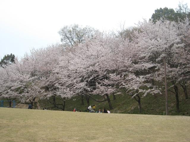 飯山総合運動公園の桜