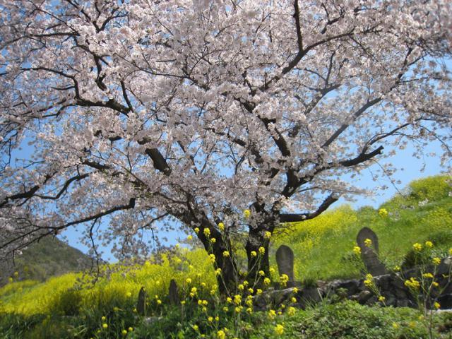 松ヶ浦池堤の桜 クリック拡大