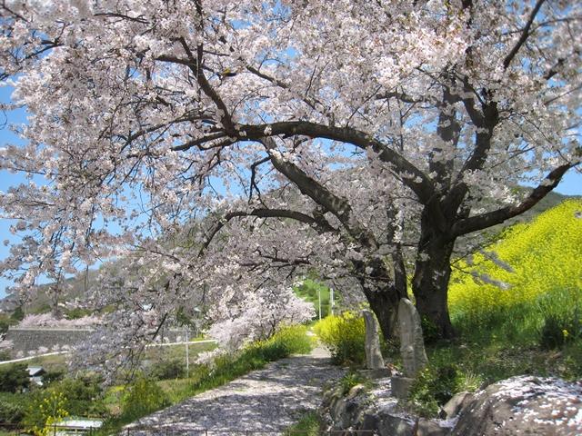 松ヶ浦池堤の桜
