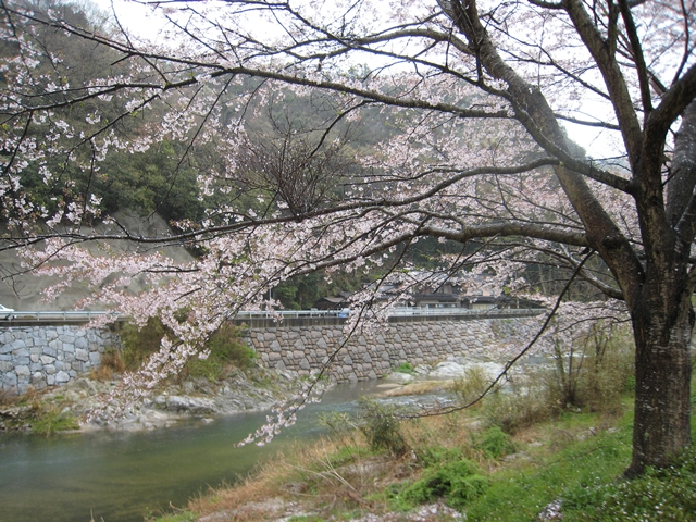 ホタルと文化の里公園の桜