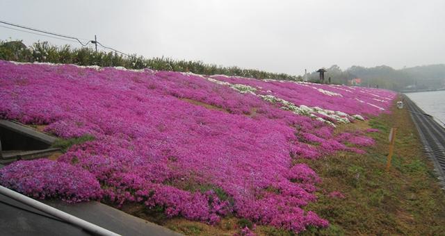 山大寺池の芝桜