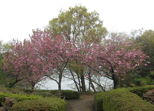 公渕森林公園ボタン園のボタン桜