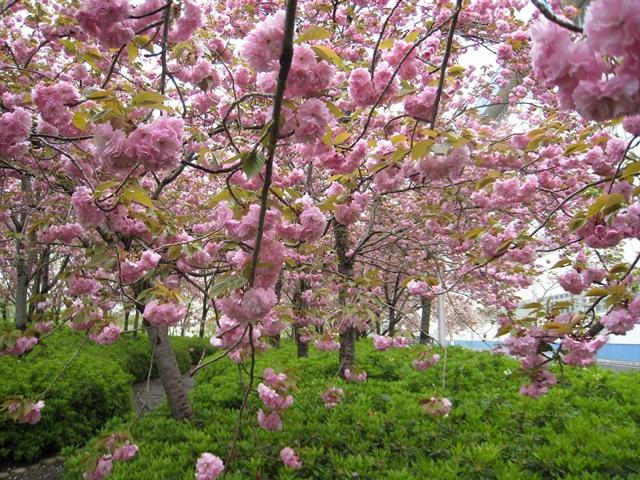 セシール志度ロジスティクスセンターの桜