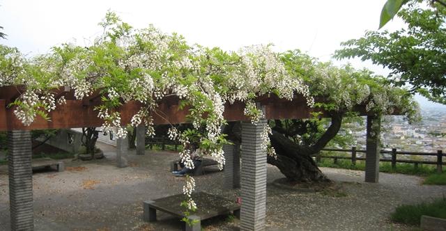 桃陵公園の白藤