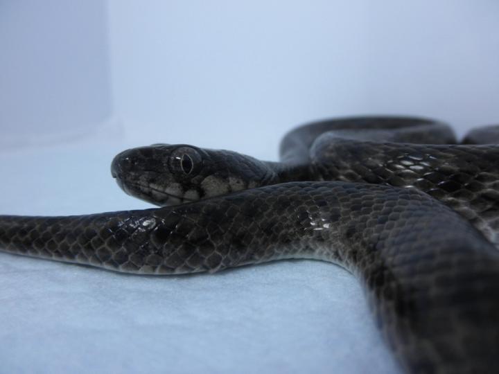 アリノハハヘビ