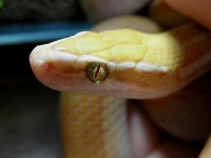 アフリカイエヘビ