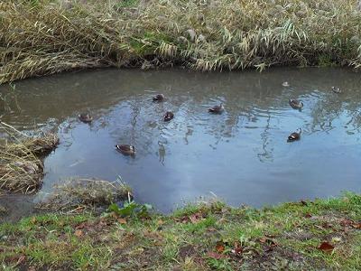 鴨川のカモたち