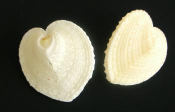 FLの貝殻