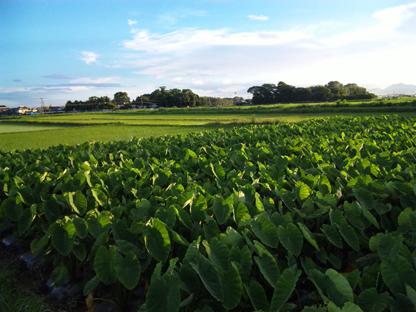 里芋畑と田んぼs