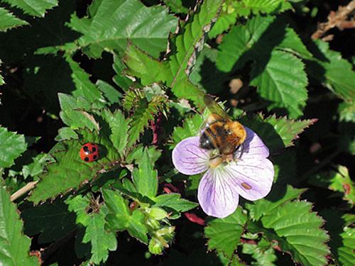 ハチとテントウムシ