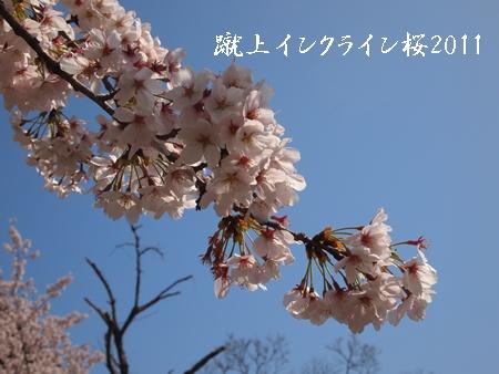 230409桜 Q