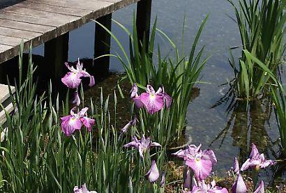 紅葉山庭園花菖蒲-4