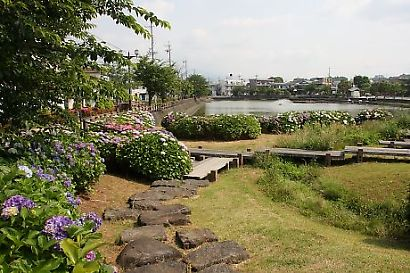 小鹿公園紫陽花-1