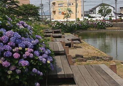 小鹿公園紫陽花-2