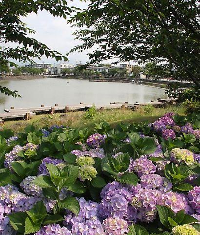 小鹿公園紫陽花-4