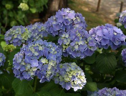 城北公園紫陽花-3