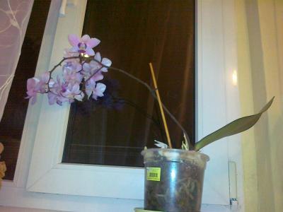 アグネシカ宅の胡蝶蘭