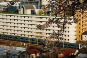 桜と京浜東北