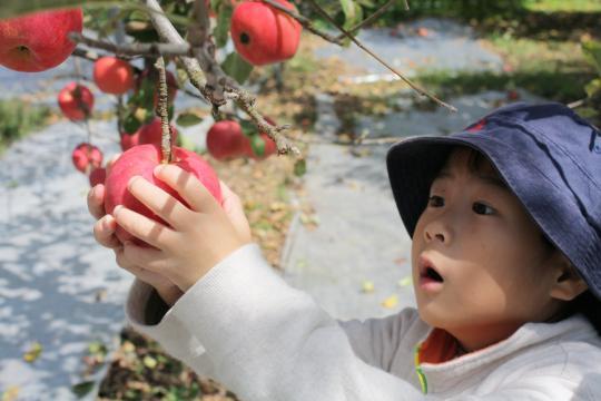 リンゴ狩りをする長男