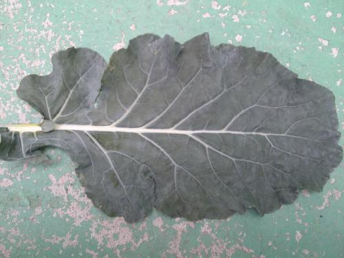 ブロッコリ-の葉