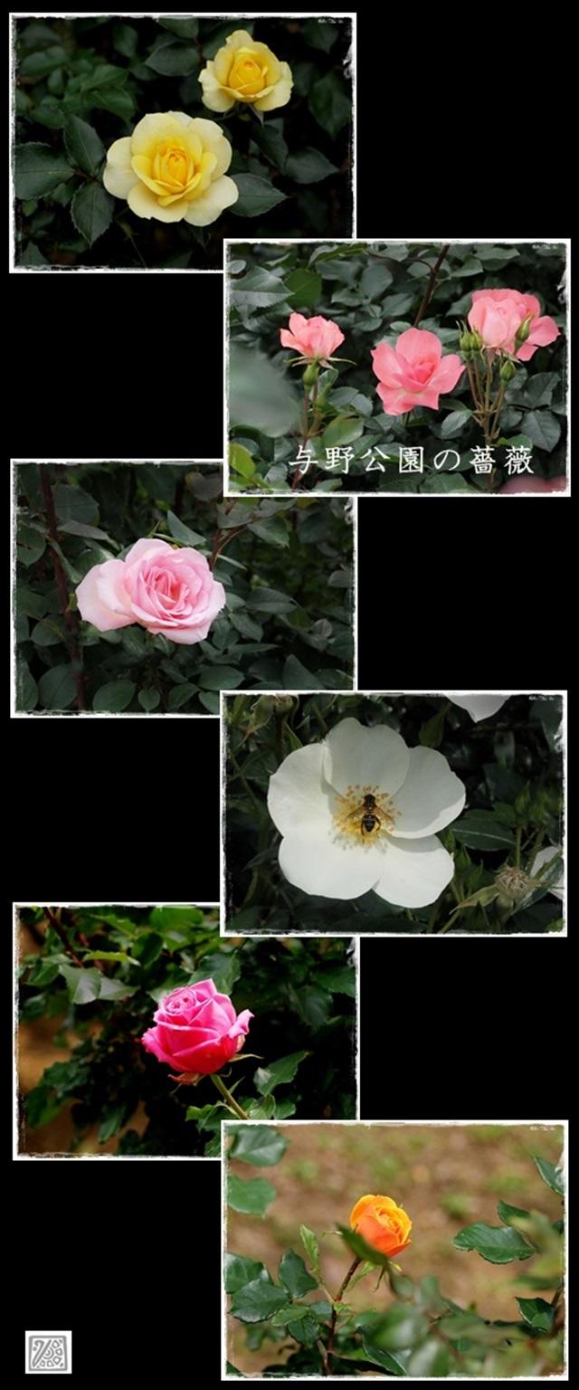 与野公園の薔薇640