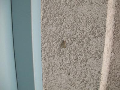シロオビフユシャク壁