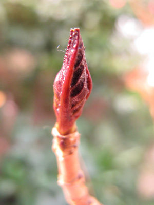 アジサイ冬芽