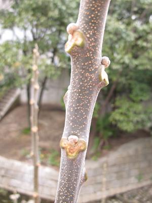 センダン冬芽2