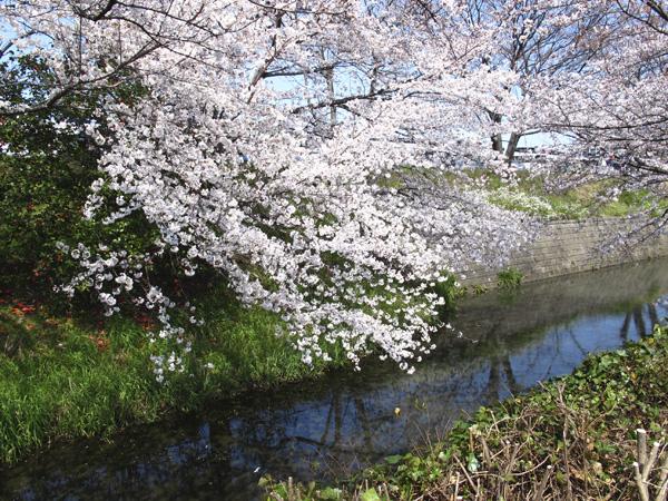 桜と小川2