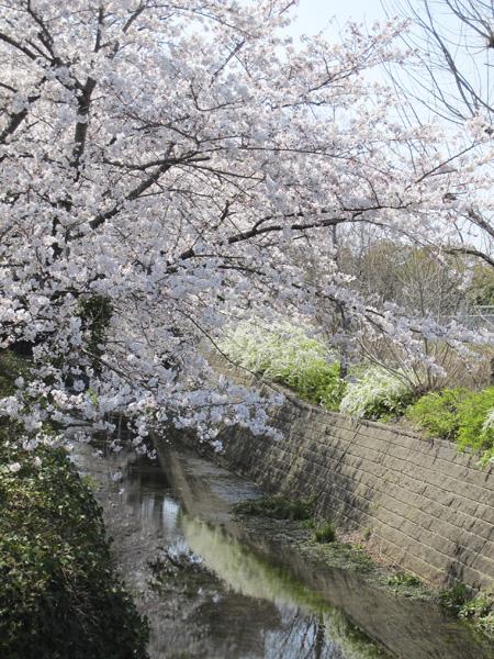 桜と小川3