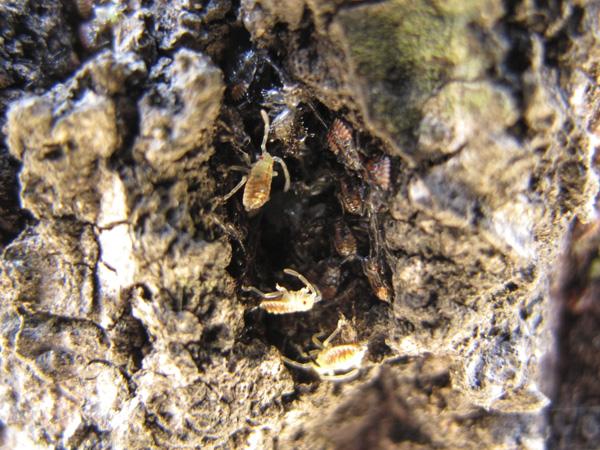クヌギカメムシ孵化2