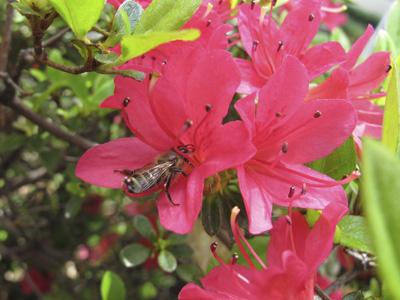 ツツジにミツバチ2