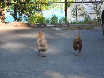 2鶏がお出迎え