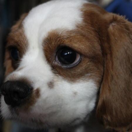 看板犬Cocoちゃんの横顔 3