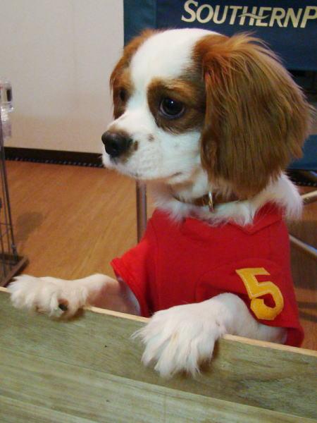 看板犬Coco 男の子だって赤いポロシャツ着てもいいじゃん!!