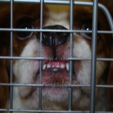 看板犬キャバリアCocoちゃん 2010716 1