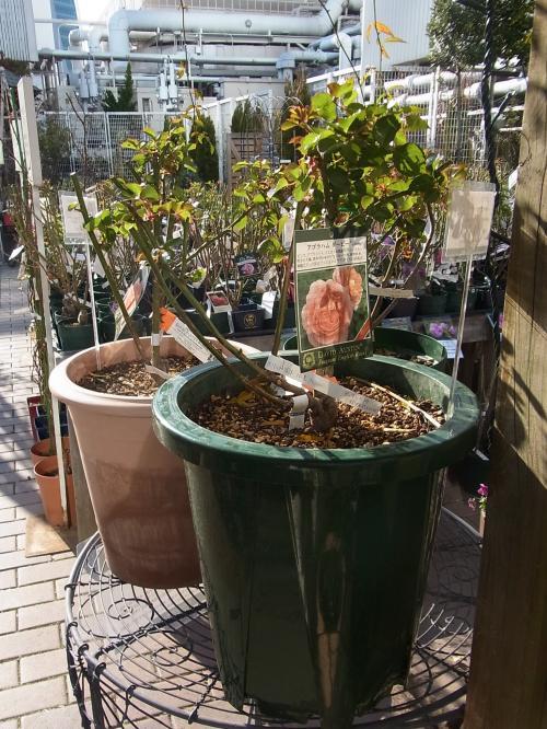 バラ植え替え鉢植え見本